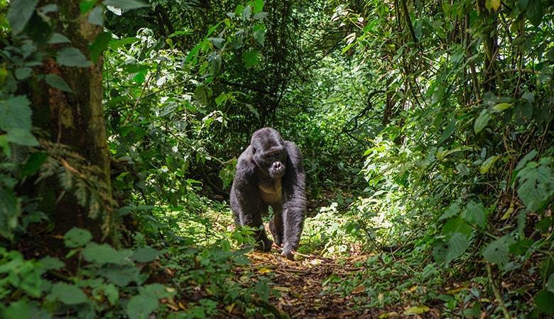Ruanda'da Goril Safarisi Turu SE